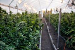 Bourgeons de cannabis en serre chaude