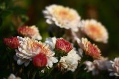 Bourgeons de chrysanthème Image libre de droits