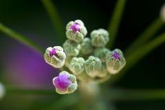 Bourgeons de fleur pourpre Images stock