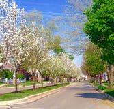 Bourgeons de floraison de poirier de ressort Photos libres de droits