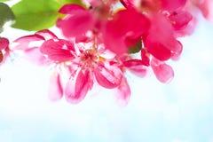 Bourgeons de floraison de pommier de paradis Fond naturel merveilleux Image libre de droits