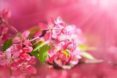 Bourgeons de floraison de pommier de paradis Fond naturel merveilleux Photos stock