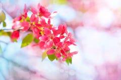 Bourgeons de floraison de pommier de paradis Fond naturel merveilleux Photographie stock libre de droits
