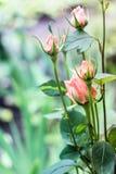 Bourgeons de floraison des roses crèmes Images libres de droits