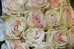 Bourgeons de floraison des roses rose-clair Photographie stock libre de droits