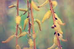 bourgeons de floraison sur des branches d'arbre photos libres de droits