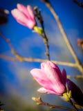 Bourgeons de magnolia d'ouverture Images libres de droits