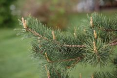 Bourgeons de pin sur une branche photos stock