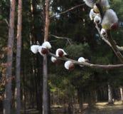 Bourgeons de ressort sur des arbres Images libres de droits