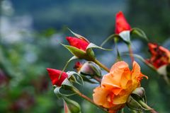 Bourgeons de Rose dans la forêt Image libre de droits