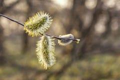 Bourgeons de saule sur l'arbre photographie stock