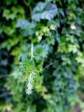 Bourgeons de verdure Images stock