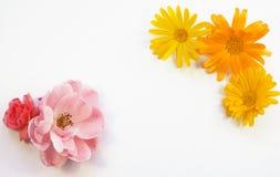 Bourgeons des fleurs sur un fond blanc Images libres de droits