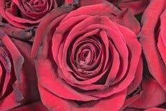 Bourgeons des roses étonnantes de grenat Photos libres de droits