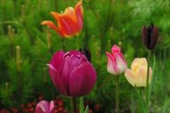Bourgeons des tulipes roses avec les feuilles vertes fraîches dans les lumières molles au fond de tache floue avec l'endroit pour images stock