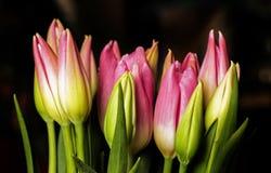 Bourgeons des tulipes roses sur le fond foncé photos stock