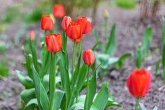 Bourgeons des tulipes rouges de floraison une journée de printemps Images libres de droits