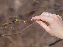 Bourgeons et branches dans la main d'une femme photographie stock