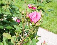 Bourgeons et feuilles d'une roseraie Image stock