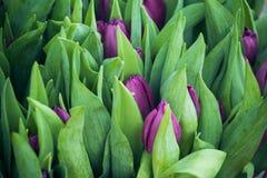 Bourgeons et feuilles des tulipes pourpres Photo libre de droits