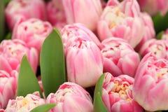 Bourgeons et feuilles des tulipes roses Photo libre de droits
