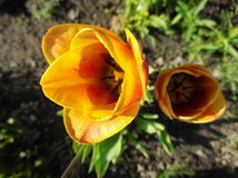 Bourgeons fleurissants Photographie stock