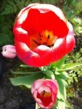 Bourgeons fleurissants Image libre de droits