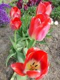 Bourgeons fleurissants Photo libre de droits