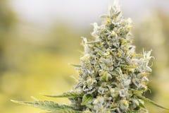 Bourgeons fleurissants de marijuana (cannabis), usine de chanvre Récolte d'intérieur très grande de mauvaise herbe Image stock