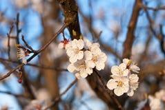 Bourgeons fleurissants sur l'arbre Photographie stock libre de droits