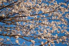 Bourgeons fleurissants sur l'arbre Images stock
