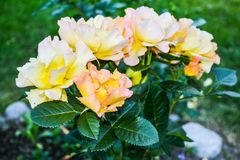 Bourgeons nombreux des roses jaunes sur un buisson photo libre de droits
