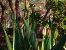 Bourgeons non-expansés des fleurs de tulipe Feuilles et tiges vertes avec des bourgeons prêts à éclater dans le printemps tôt Nat images libres de droits