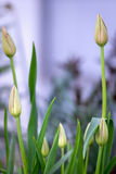 Bourgeons non-ouverts des tulipes Photos stock