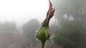 bourgeons roses avec la fin de brouillard de pluie de baisses de l'eau de rosée vers le haut de frais micro Photo libre de droits