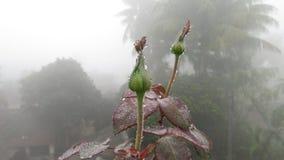 bourgeons roses avec la fin de brouillard de pluie de baisses de l'eau de rosée vers le haut de frais micro Image libre de droits