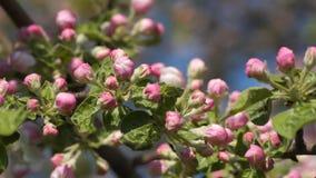 Bourgeons roses d'arbre fleurissant banque de vidéos