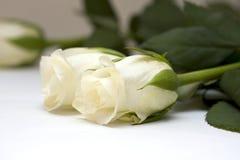 Bourgeons roses de blanc sur le blanc Images stock