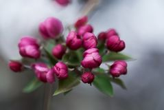 Bourgeons roses de Crabapple photo stock