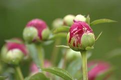 Bourgeons roses de pivoine image libre de droits