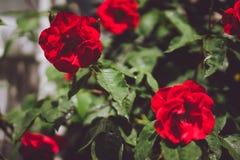 Bourgeons rouges de roses rouges avec le feuillage vert Lueneburg, Allemagne Photos stock