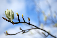 Bourgeons sur le branchement. Photo stock
