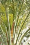Bourgeons verts de datte dans le palmier de datte Photos libres de droits