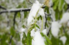 Bourgeons verts de ressort sous la neige Photographie stock