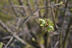 Bourgeons verts frais d'arbre Images stock