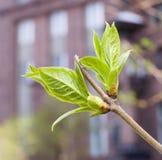 Bourgeons verts sur des branches au printemps nature, saisons Photographie stock libre de droits