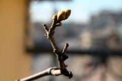 bourgeons verts sur la branche images stock