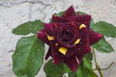 Bourgogne foncé peu commun et Rose bicolore jaune Images libres de droits