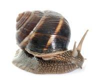 Bourgogne snail in studio Stock Photo