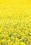 Bourgogne spring landscape rapeseed fields Stock Images